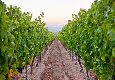Vineyards at De Toren